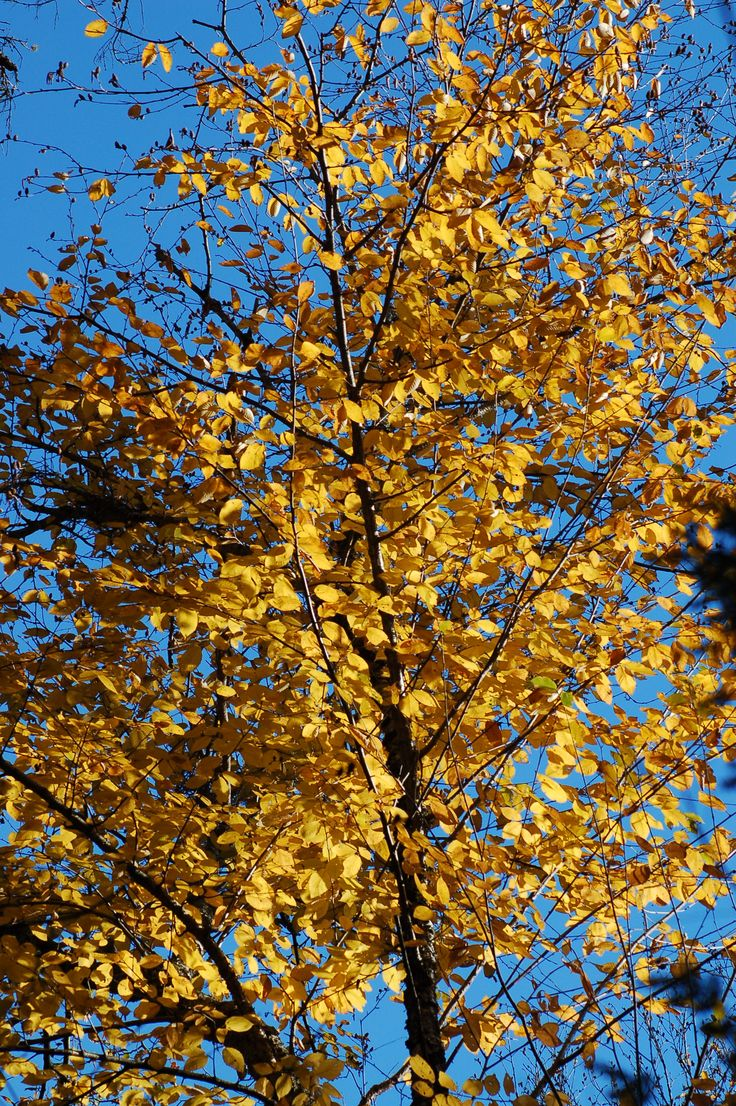 """Yellow"" birch trees do not derive their name from the color of their leaves, although that color -- seen here in this fall-foliage shot -- is impressively yellow. Find out what the true origin of the name, ""yellow"" birch is: http://landscaping.about.com/cs/fallfoliagetrees/a/fall_foliage4.htm"