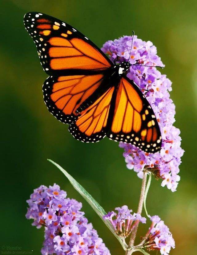 Where Have All Monarchs Gone >> Best 25+ Monarch butterfly ideas on Pinterest | Beautiful butterflies, Monarch butterfly facts ...