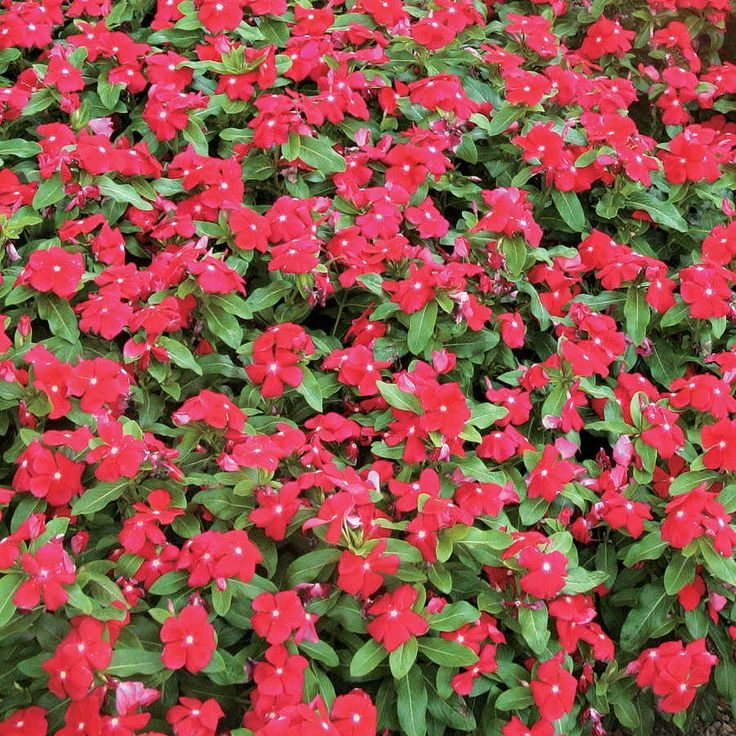 Pacifica Really Red Hybrid Xp Vinca Vinca Periwinkle