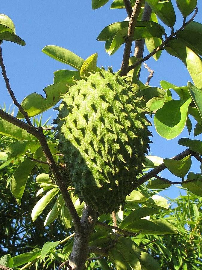 Si todavía no conoces los beneficios del té de hojas de guanábana, no pierdas más tiempo. Descubre para qué sirva la hoja de guanábana y por qué se usa contra el cáncer.