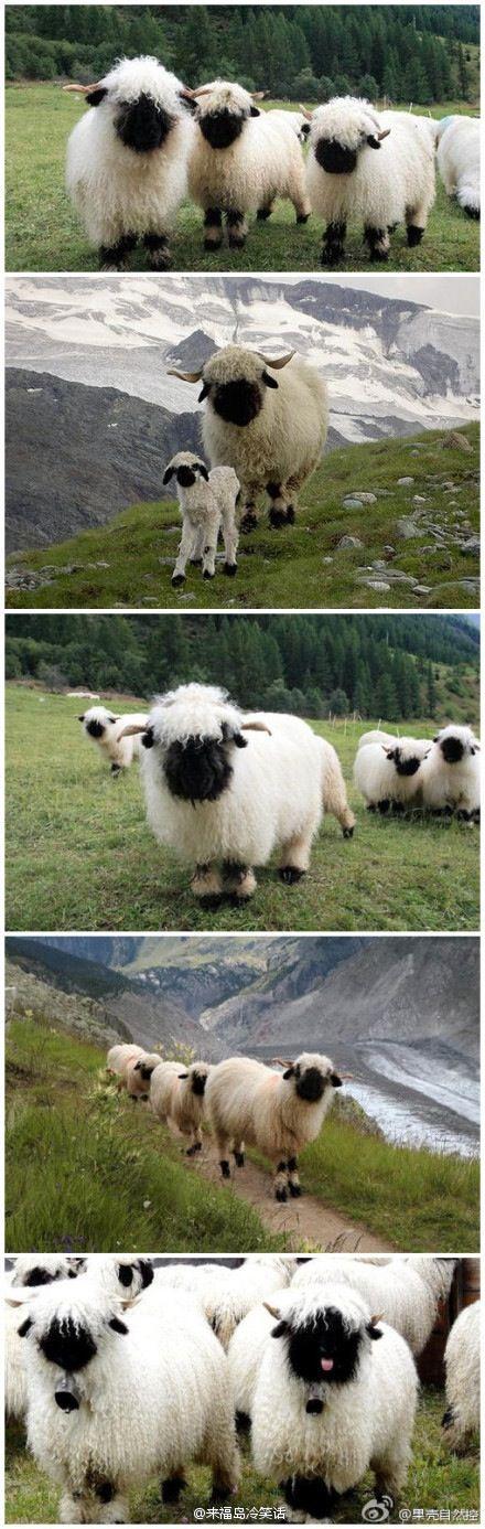 black face lamb