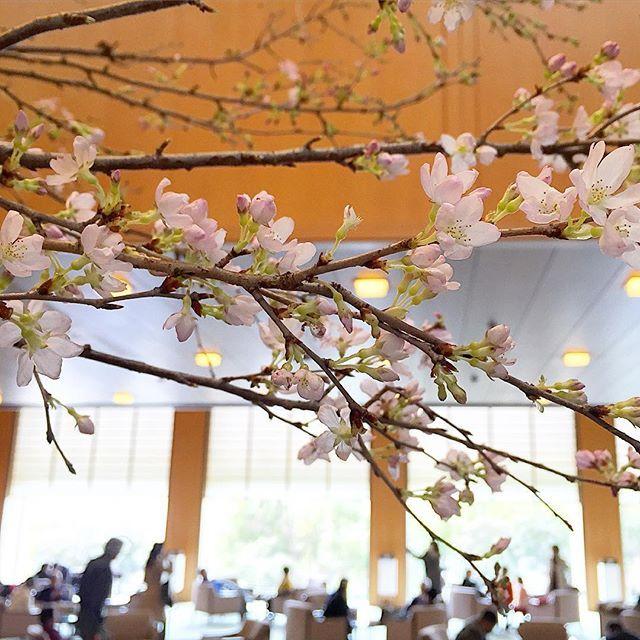 3日目。  神戸のホテルオークラで義父母と家族揃ってランチをしました。  ロビーに生けてあった桜で、一足早くお花見。  ホテルオークラのこのロビーの雰囲気、東京も神戸も好きです。  #桜 #春 #ホテルオークラ #ホテルオークラ神戸 #神戸 #ホテル #ロビー #hotel #kobe #hotelokura #hotelokurakobe #lobby #cherryblossom