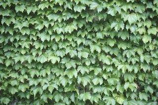 Fast-Growing Evergreen Vines (with Pictures) | eHow