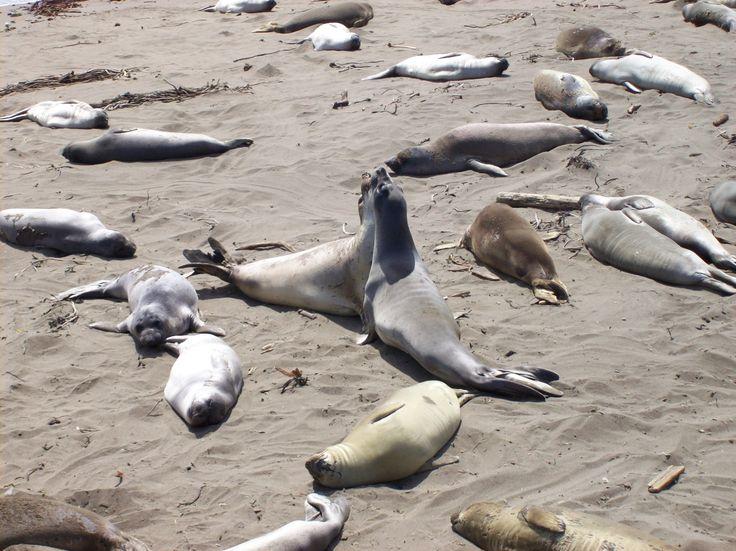 Two baby male elephant seals play fighting on the nursery beach http://ift.tt/2jbkGCJ