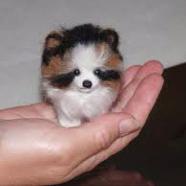 Teacup Pomeranian - Oh. My. Goodness :)
