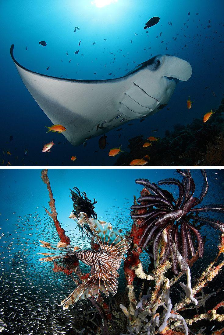 Faszinierende Begegnungen mit großen und kleinen Riffbewohnern, hier Manta-Rochen und Löwenfisch | SONEVA FUSHI, Malediven