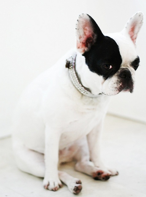 French Bulldog - not looking happy!