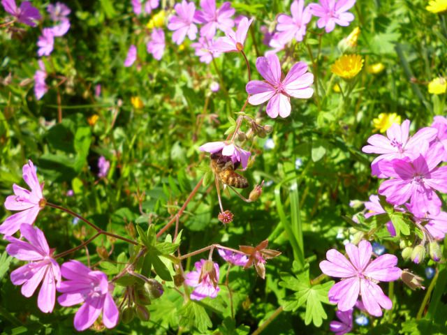 Οι μέλισσες δείχνουν ιδιαίτερο ενδιαφέρον για το άγριο γεράνι το οποίο δίνει και νέκταρ και γύρη χρώματος μαύρου.