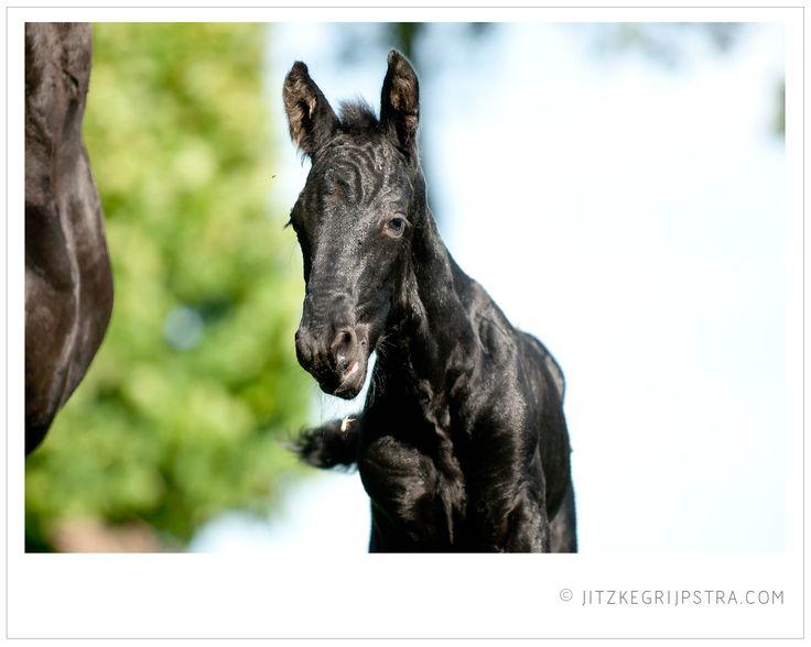 Een Fries paarden veulentje in het voorjaarszonnetje.
