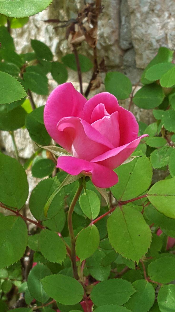 Pink rose...