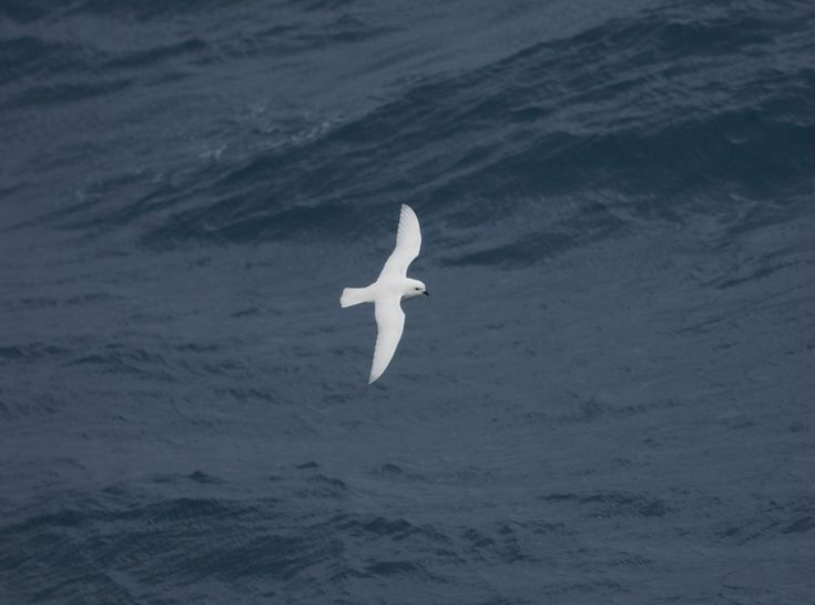 You might spot a Snow Petrel when you join Oceanwide Expeditions on an Antarctic Circle cruise.