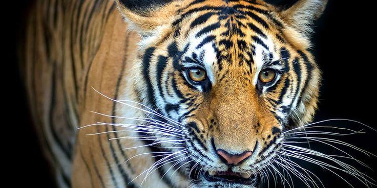 Tigermord und der illegale Handel mit Tigerprodukten haben Hochkonjunktur. Zeigen Sie der Wilderei die Krallen. Retten Sie die letzten Tiger!