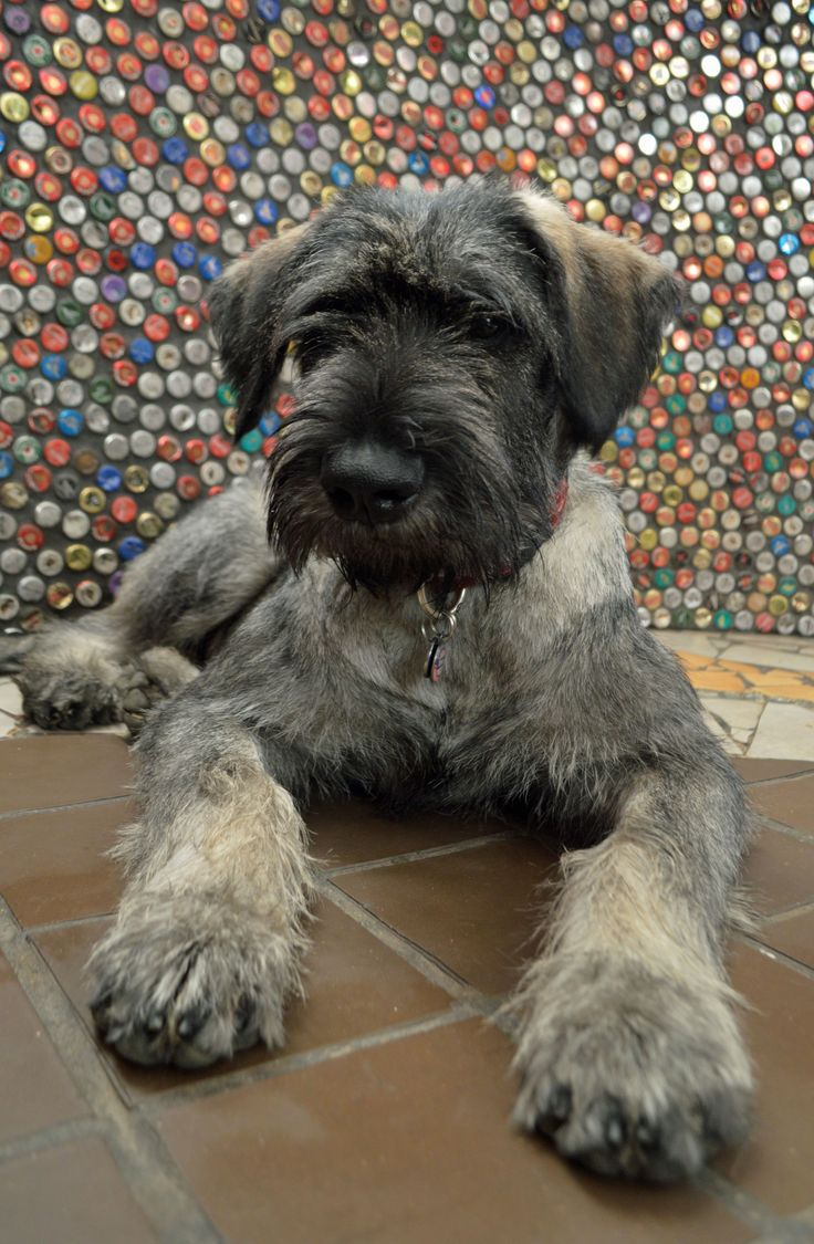 Asjas the giant Schnauzer and Rabbit Hole's dog
