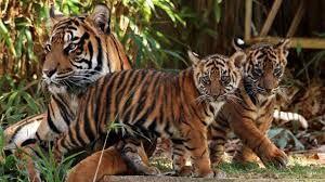 Znalezione obrazy dla zapytania tiger with cubs