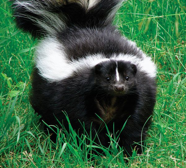 When the weather warms, skunks come out to scavenge, which might lead your dogs or horses to a stinky spraying. Here's how to get rid of the smell on your horse.
