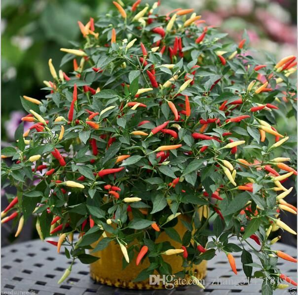 Hot Pepper Thai Capsicum Annuum Ornamental Chili 100 Seeds Bonsai Plant