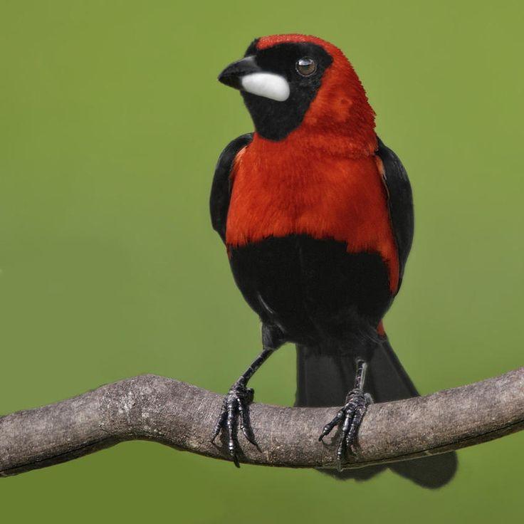 Exotic birds : Tangara enmascarada (Masked Crimson Tanager) (Salvador Solé Soriano)