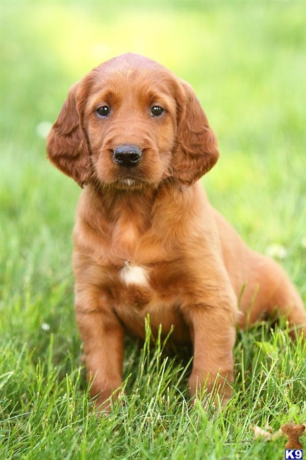 Irish Setter Puppy - love that rust, red color.