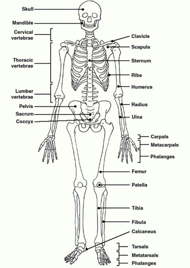 Human Skeleton Diagram With Labels Koibana Info Human Body Worksheets Human Skeleton Labeled Human Skeleton Anatomy