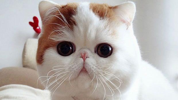 Exotic Shorthait - Cat - Gatto