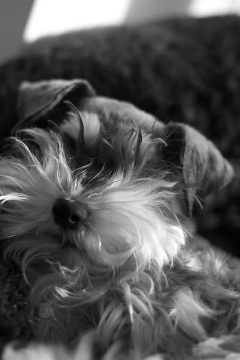 Miniature Schnauzer, I love their messed up beards..........