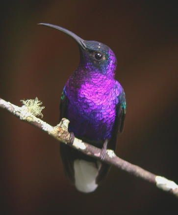 Image result for purple hummingbird