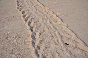 Trail of a Underwater-Turtle, Kakaban Island, Kalimantan, Indonesia, by Ivonne Peupelmann Photography