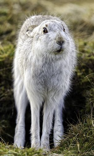 ~~ Mountain Hare - -  #rabbit #hare | repinned by www.amgdesign.nz
