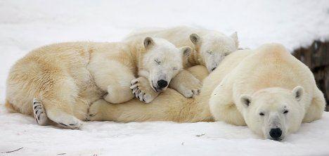 oh my godPolar Bears, Animal Kingdom, Bears Cubs, Animals8 Animal, Pillows Animals8, Animal Sleep, Holy Experiments, Naps Time, Amazing Animal