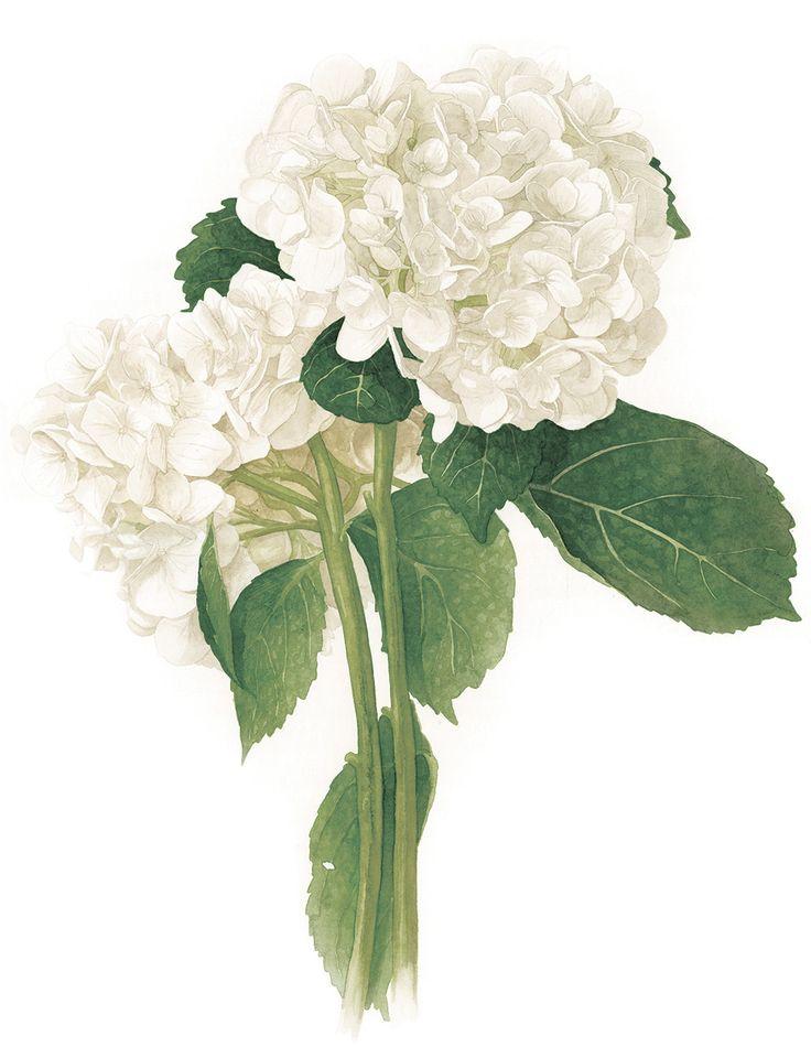 amanda farquharson white hydrangea - White Hydrangea