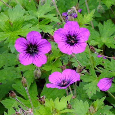 Geranium Anne Thomson; An Alan Bremner hybrid of the same parentage as the better known Anne Folkard, namely G.procurrens x G.psilostemon. Geranium Anne Thompson is a more compact form. It spreads to 90cm, reaching about 50cm in height.