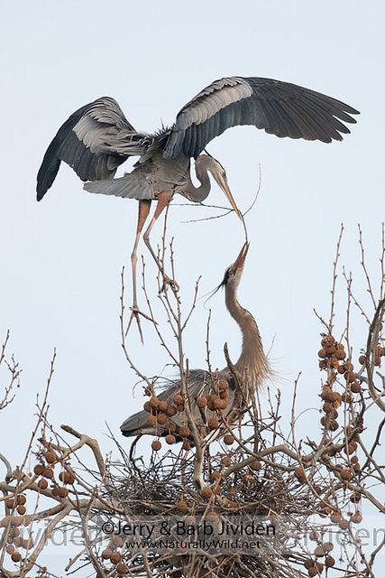 Great Blue Heron passing off nesting material
