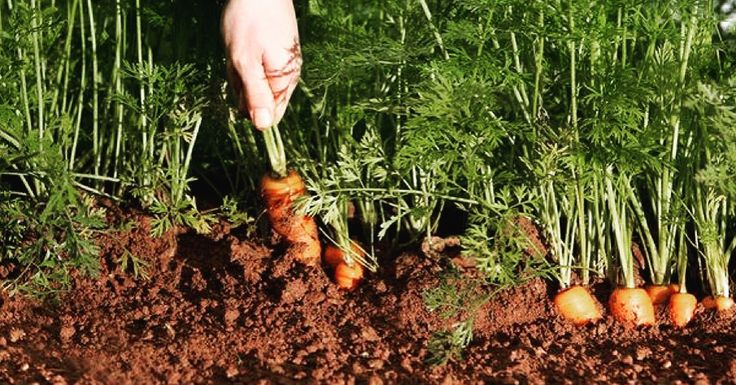 The carrot is a root vegetable, usually orange in colour, though purple, black, red, white, and yellow cultivars exist. Carrots are a domesticated form of the wild carrot, Daucus carota, native to Europe and southwestern Asia. the most important produce to buy organic: Apples, Bell Peppers, Carrots, Celery, Lettuce, Potatoes, Strawberries. Food. Organic Price. Conventional.