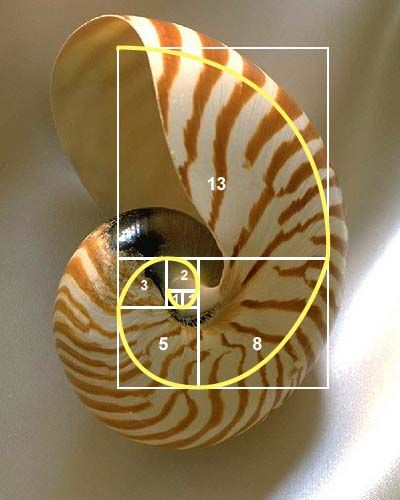 The spiral curve of the Nautilus sea shell follows the pattern of a spiral drawn in a Fibonacci rectangle, a collection of squares with sides that have the length of Fibonacci numbers.