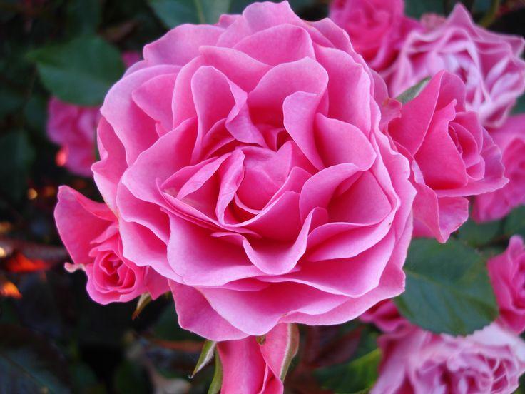 """'I am grateful'™ Floribunda ros. 80-100 cm hög. Stora klasar av vackra blommor. Blommar från sommar till sen höst. Vann första pris i rosenträdgårdstävlingen """"Rosenneuheitengarten Beutig"""" in Baden-Baden Juni 2015"""