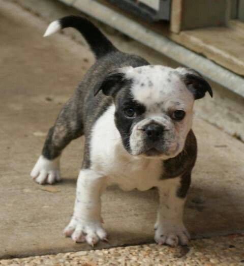 Miniature Australian Bulldog. Facebook.com