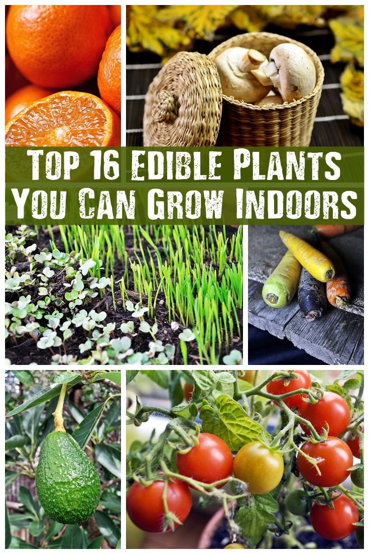 Top 16 Edible Plants You Can Grow Indoors - pin