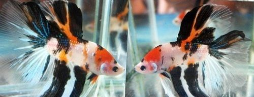 17 best images about betta fish on pinterest red white for Male koi fish