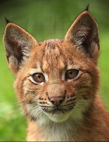 Top Ten Most Endangered Big Cats