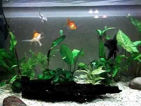 ▶ Community goldfish tank - YouTube 120 litres fancy goldfish