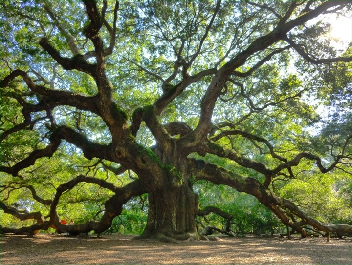Angel Oak Tree Charleston Oil Paintings
