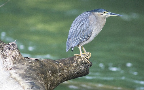 Kingfisher, Daintree river (I'm pretty sure this is not a kingfisher but rather, a night heron - CATG)