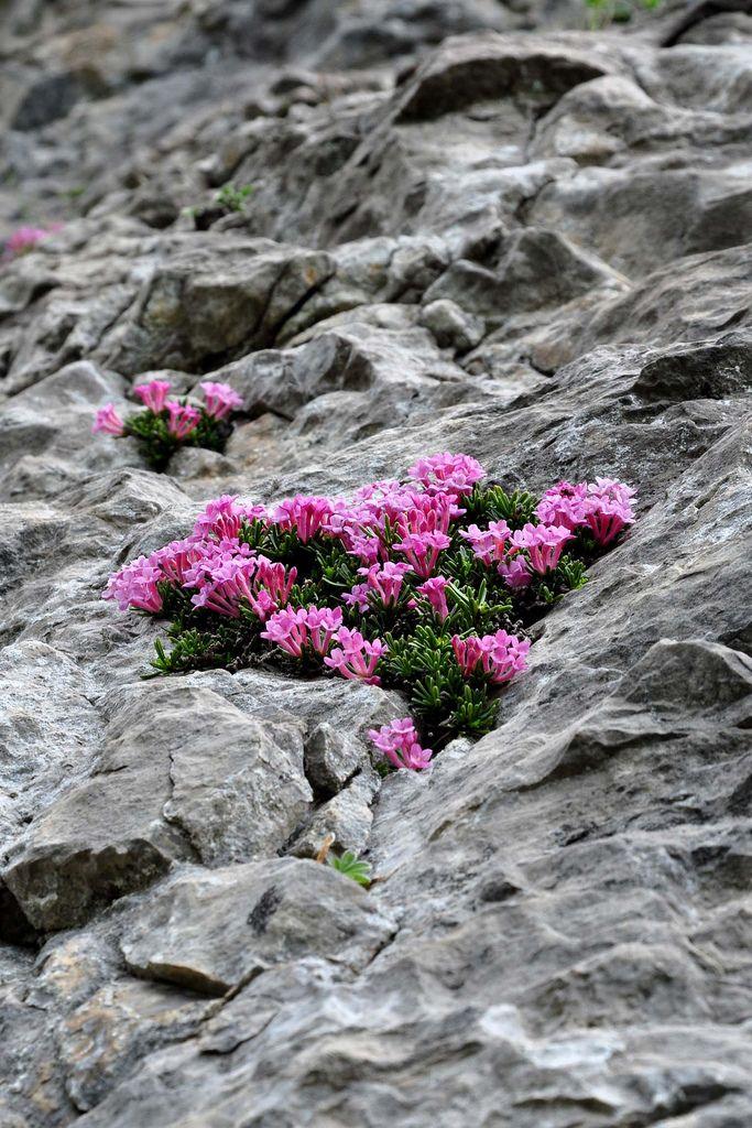 DAPHNE PETRAEA (Dafne delle rupi. Felsen-Seidelbast. Daphné des rochers). Thymelaeaceae