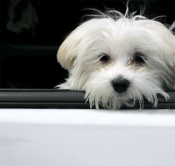 Bichon Maltes: origen, cuidados, precio,  perro, características, alimentación, imágenes y vídeos: Ansiedad o Depresión en el Bichón Maltés