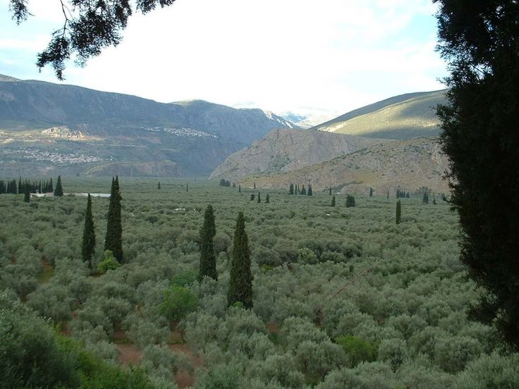 The olive grove of Amfissa - an area that reaches from Amfissa to the sea of Korinthiakos, from Erateini to Kirra. This olive grove is the largest continuous of the country and is part of the famous Delphic Landscape, with more than 1.200.000 olive trees. #Greece #Delphi #Terrabook #Travel #GreeceTravel #GreecePhotografy #GreekPhotos #Traveling #Travelling #Holiday #Nature