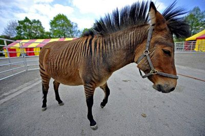"""Jambo the zebroide - It is not a zebra, not a horse,"""" the prince of Jambo Kenya """", this is his name, is a unique animal, born to a mother zebra (Kenya) father and a Shetland pony (Printi.) now lives with a circus in Germany."""