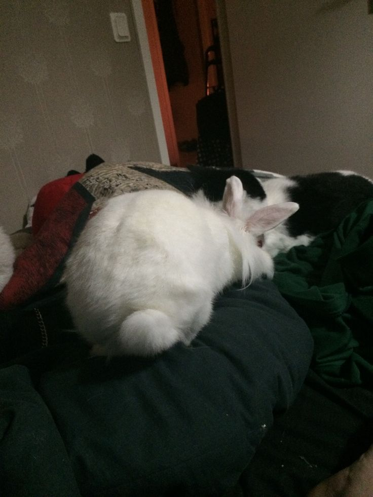 Heres my cat and bunny together it's so cute