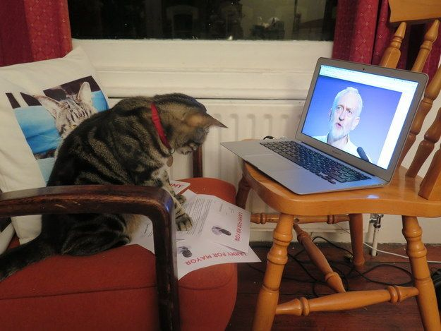 Ned studied all the election material very seriously while making up his mind. | The Labour Party Let This Cat Vote In Its Leadership Election - BuzzFeed News