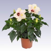 Szoba hibiszkusz, Hibiscus rosa-sinensis 30-40 cm magas 12cs