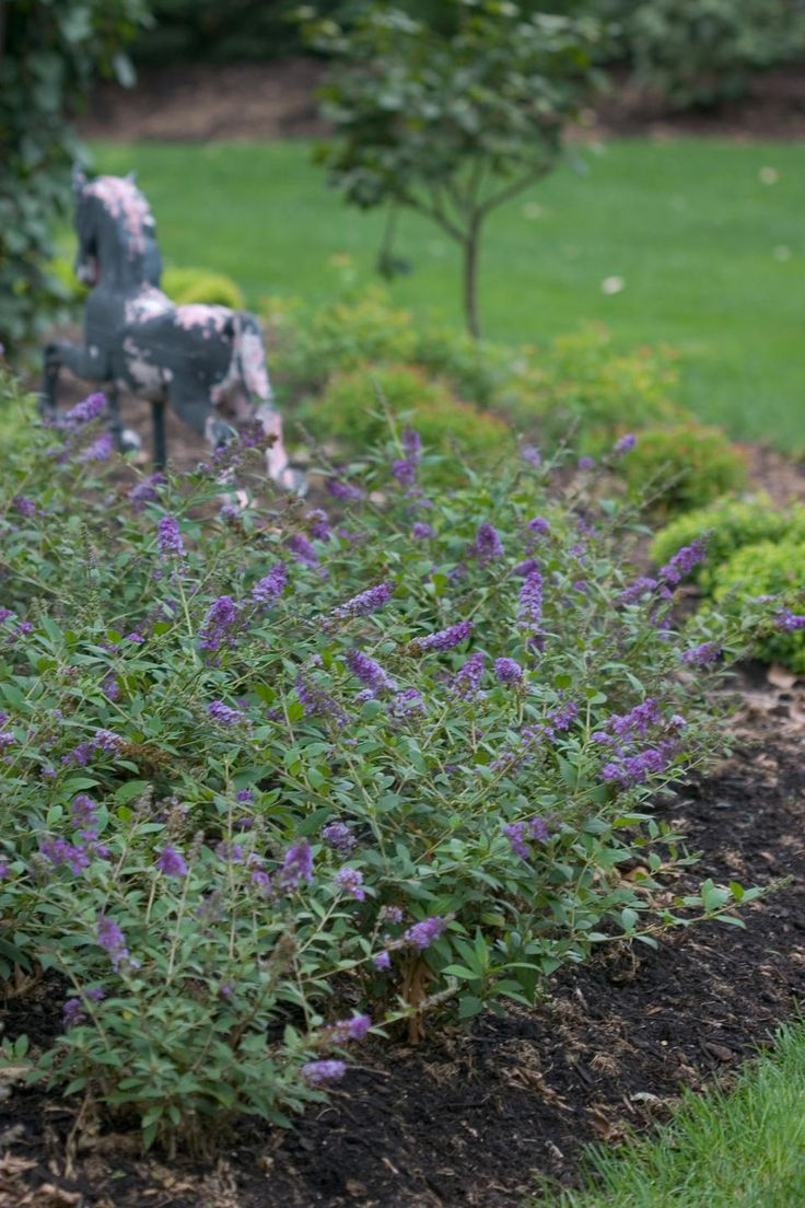 Buddleia 'Blue Chip'  Dwarf buddleia, stays under 3', blooms continuously from mid-summer to fall.